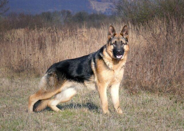 owczarek niemiecki krótkowłosy wzorzec rasy psa