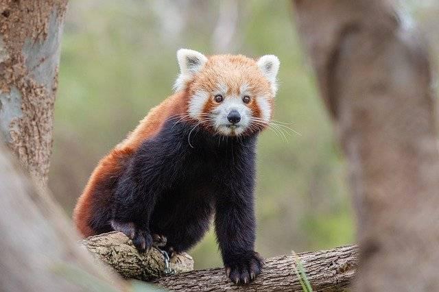 panda ruda red panda