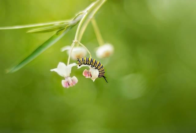 cykl życiowy motyla gąsienica